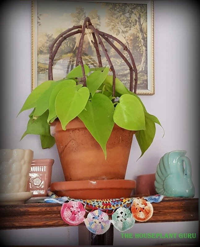 Philodendron 'Lemon-Lime' with the ubiquitous pansy doily.