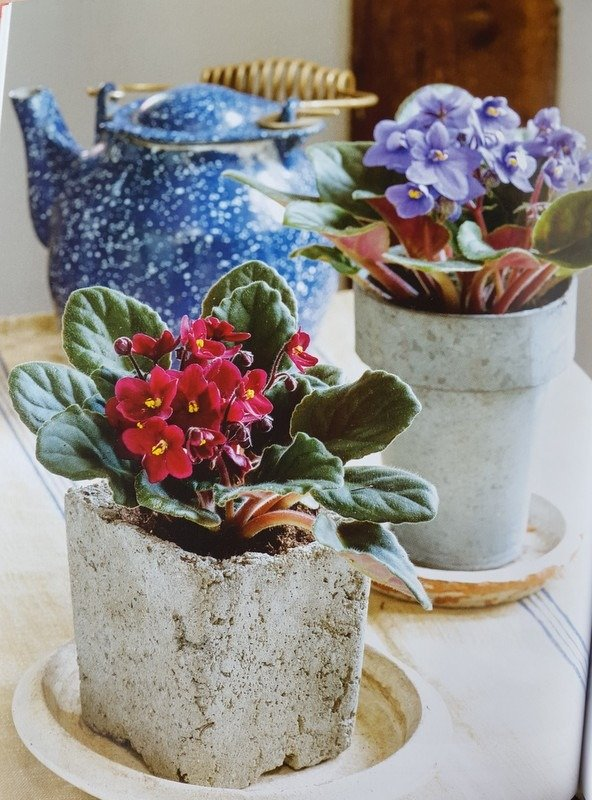 African violets in beautiful cement containers