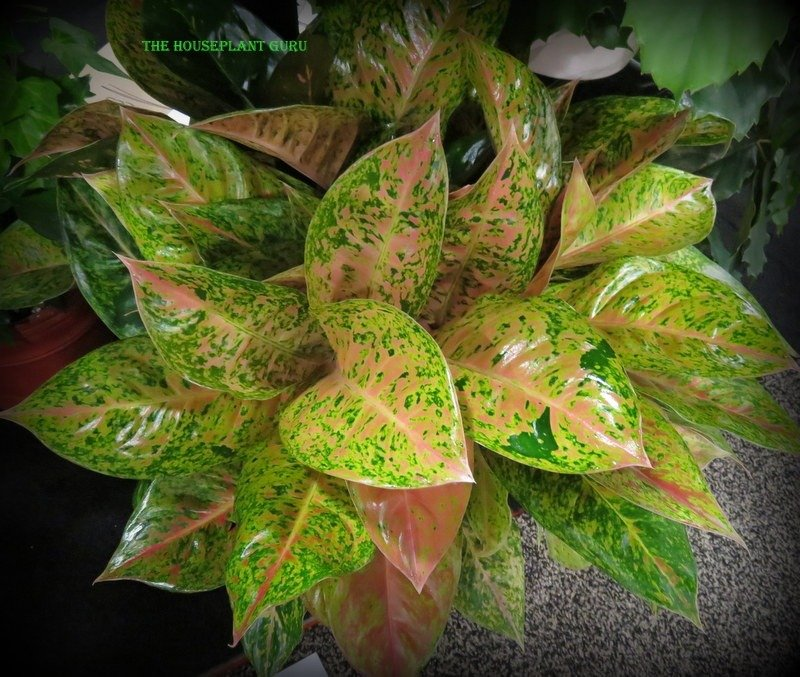 New Aglaonema Not named yet, but I suggested ''Pink Frost'