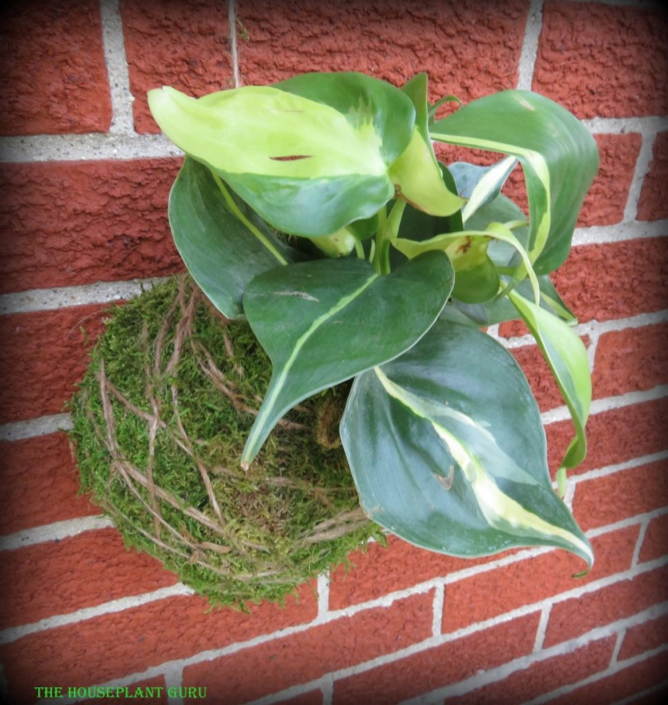 Finished moss ball with Philodendron