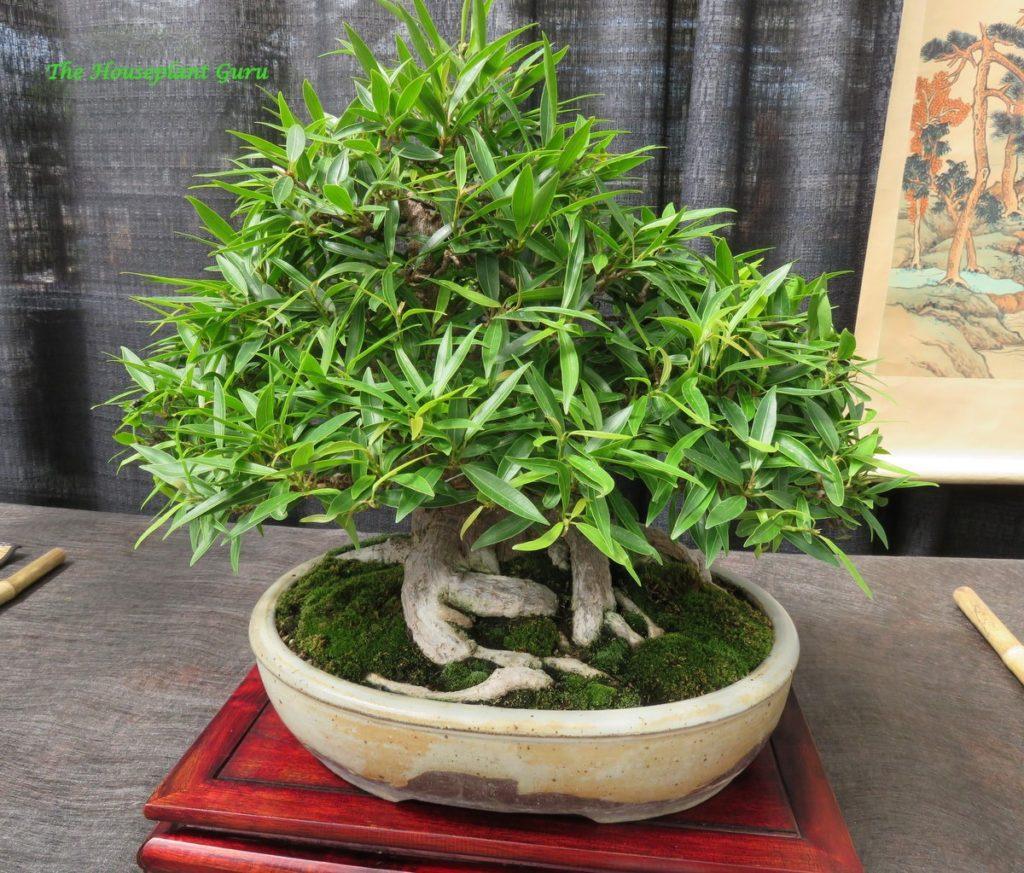 Willow Leaf Fig (Ficus nerifolia) bonsai