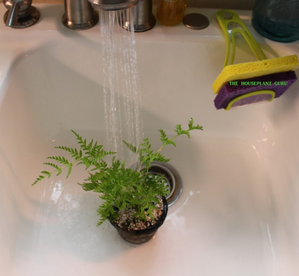 A sink shower cleans this fern and waters it, too
