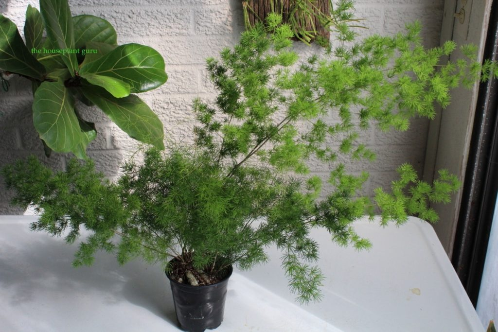 Asparagus fern that is extremely rootbound
