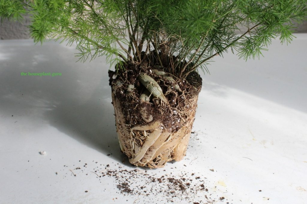 You can see the roots and how tightly packed in the pot they must have been