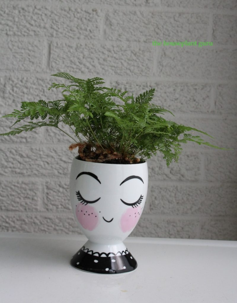 Rabbit's foot fern in face pot